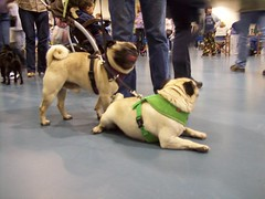 Pugfest 007 (cwisty5) Tags: pug milwaukee fest