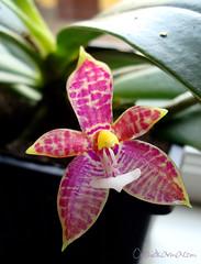 Phalaenopsis cornu-cervi f. red