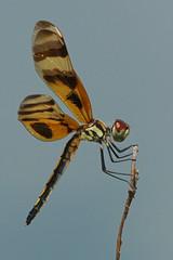 Halloween Pennant Dragonfly (Dave 2x) Tags: usa florida dragonfly sony everglades halloweenpennant celithemiseponina 70400mm sonya900 daveirving httpwwwdaveirvingwildlifephotographycom