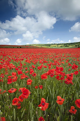 Devils Dyke Poppyfield (antonyspencer) Tags: uk flowers wild summer west field clouds landscape sussex brighton south devils east poppy poppies spencer dyke antony naturepoetry
