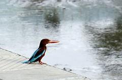 White Throated Kingfisher reminiscing (Fastformula) Tags: bird canon kingfisher