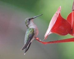 Little Hummer (chumlee10) Tags: county bird nature wisconsin outdoors iron hummingbird outdoor sony birdfeeder mercer wi a300 thegalaxy mygearandmepremium mygearandmebronze mygearandmesilver mygearandmegold mygearandmeplatinum