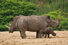 Mother and aunt give baby rhino protection (Foto Martien (thanks for over 2.000.000 views)) Tags: africa holland netherlands dutch southafrica zoo kenya arnhem nederland safari burgers rhino zimbabwe afrika dozer savannah botswana uganda grassland namibia zambia veluwe burgerszoo mozambique safaripark dierentuin gelderland kwanzaa dierenpark whiterhinoceros ceratotheriumsimum breitmaulnashorn rinoceronteblanco squarelippedrhinoceros witrenoster burgersdierenpark witteneushoorn renoster a550 zwaziland rhinocrosblanc weisesnashorn burgerssafari martienuiterweerd martienarnhem sony70300gssmlens sonyalpha550 fotomartien