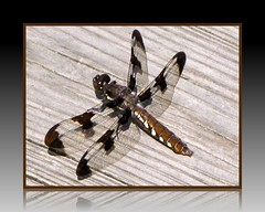 MY FIRST DRAGONFLY! (Laramie_Coyote) Tags: nature bug insect dragonfly may25 commonwhitetail plathemislydia commonwhitetailfemale pogchallengewinners mygearandme mygearandmepremium mygearandmeplatinum rainbowelite