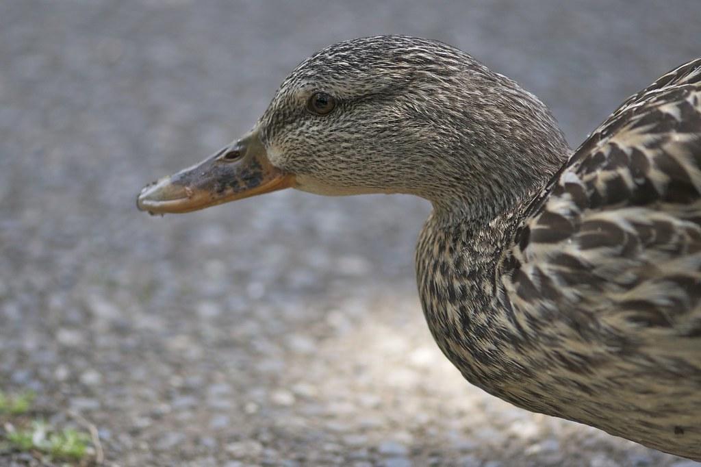 Ducky gaze