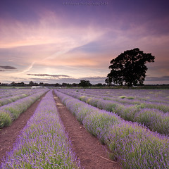 Lavender Sunset (Scott Howse) Tags: sunset england sky tree field farm lavender somerset lee filters graduated englishlavender lavandulaangustifolia 09h 06h
