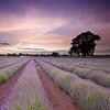 Lavender Sunset (Scott Howse) Tags: sunset england sky tree field farm lavender somerset lee filters graduated englishlavender lavandulaangustifolia 09h 06h