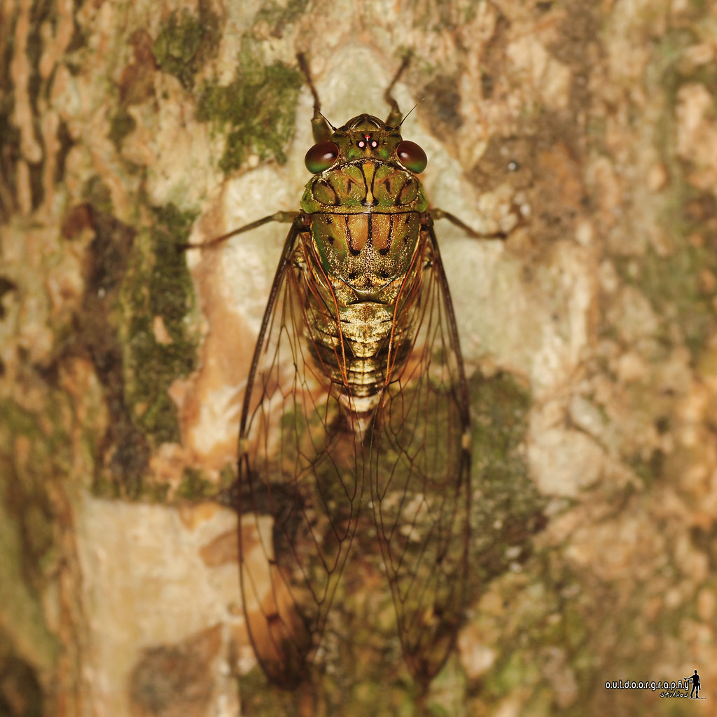 Cicada | Tupah (by Sir Mart Outdoorgraphy™)