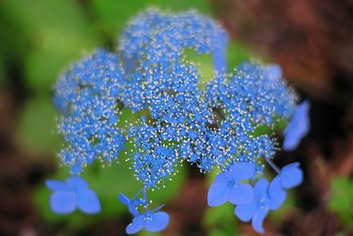 Hydrangea Macrophylla #4