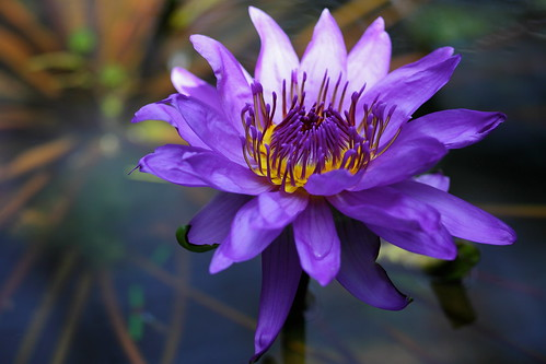 Water Lily 2010 #1