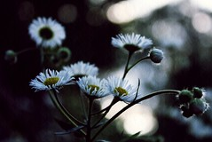 daisies (meredith markleigh) Tags: flowers texture nature daisies bokeh maryland stems daisy howardcounty oella