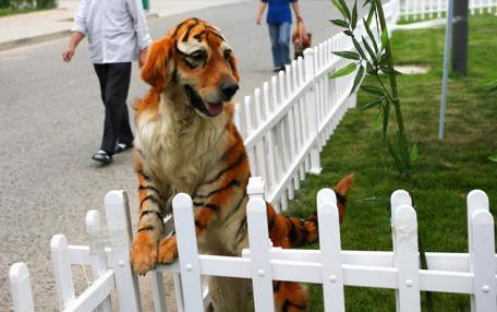 Thumb Un Golden Retriever teñido como tigre