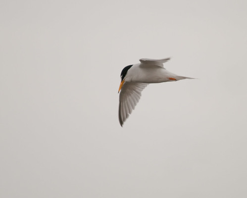 little tern 2