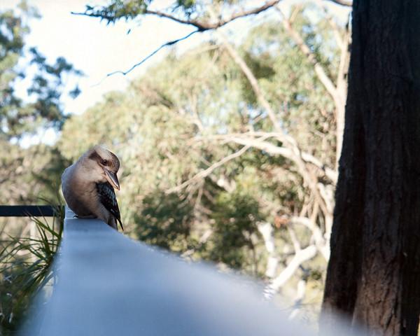 Kookaburra Karragarra