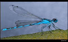 Blue Damsel (pickup2sticks 1.42 million + Views)) Tags: pictures light texture contrast digital fly photo focus mood different foto dof image photos pov unique quality picture shapes pic images photographic line sharp number textures photograph gordon difference form photographed shape tone kerr photoes tonal outstanding textual damsel focussed descriptive photographes bluedamseldamselfly waterflysonya700dcpc