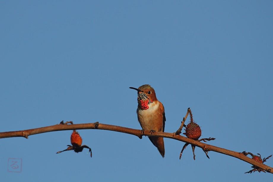 Allen's Hummingbird 10101-4-3
