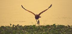 The Prized Catch (madhujith) Tags: india birds wildlife bangalore hunt brahminikite mywinners canon400d bealivebetopbeseven mygearandmepremium mygearandmebronze mygearandmesilver