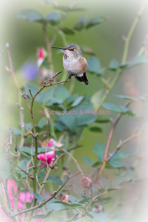 Allen's Hummingbird 110710