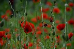 Comme en Europe... (Fransois) Tags: pavots poppies jardin garden fleurs flowers macro granby québec