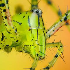 Lynx spider (Hai Hiu) Tags: animal spider insect haihiu lynxspider