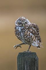 _AEE8006 cl (AnitaErdmann) Tags: 2014 alberta anitaerdmann athenecunicularia august burrowingowl burrowing owl southernalberta ©anitaerdmann2014