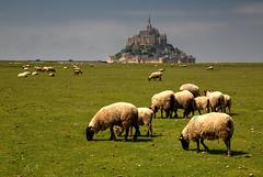 Ovine Framing (hapulcu) Tags: montsaintmichel france francia frankreich frankrijk fransa normandia normandie normandy