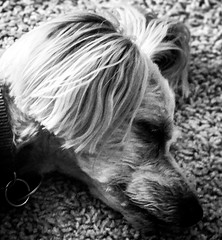 Lights out - relaxation (Beegmnphoto) Tags: macromondays relaxation dog black white yorkiepoo chill iphone 7s