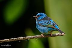 Blue Dacnis (Erik Alpizar R.) Tags: bluedacnis dacniscayana mieleroazulejo birds birding birdsofcostarica birdwatching blue costarica nature naturallight natural wild wildlife