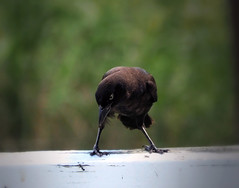 Watching The Ant (LupaImages) Tags: bird grackle feathers face ant animal wild nature wildlife