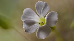 Soft stillness (flowerikka) Tags: flower blossom white macro green soft stillness nature