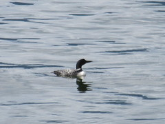 A loon! (trilliumgirl) Tags: kootenay lake bc british columbia canada water silvery loon common black white