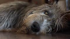 Jimmy McCarthy (cuppyuppycake) Tags: irish wolf hound fury sleepy tired lazy sweet boy animal patient