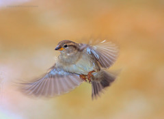 female house sparrow flying with nice background (Edward Mistarka) Tags: usa brown white motion green nature beautiful birds yellow horizontal outdoors gold flying movement afternoon artistic earth environmental maryland single environment bliss striking passerdomesticus tranquil ecofriendly paintinglike naturesfinest likeapainting birdflying femalehousesparrow singlebird specanimal avianexcellence goldstaraward environmentsafe edwardmistarka sparrowflying