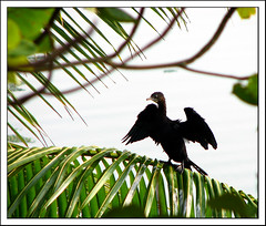Little Black Cormorant (Midhun Manmadhan) Tags: black bird fishing zoom littleblackcormorant kappil