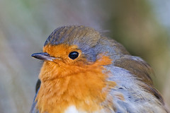 IMG_3526 Robin, Brandon Marsh, Warwickshire 08Jan10 (Lathers) Tags: snow reflection eye robin birds canon brandon canon30d canonef300mmf4lisusm brandonmarsh canon300f4lis january2010 warwickshirewildlife wildinthemidlands
