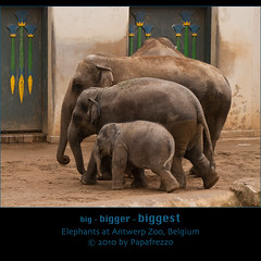 big - Bigger - BIGGEST  Elephants at Antwerp Zoo, Belgium (Papafrezzo,  2007-2012 by www.papafrezzo.com) Tags: elephant animal animals zoo big belgie antwerp elephants bigger biggest asianelephant antwerpzoo elephasmaximus indianelephant asiaticelephant zoovanantwerpen maytagu pyopyo kaimook khaingphyophyo