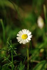 Dobiliukas (Zitute) Tags: gamta gėlė medžiai gėlės
