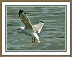 Gaviota As Oil Painting (Vidterry) Tags: seagull gull cedarlake gaviota ringbilledgull gullinflight dsc54595