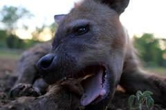 Hyaena Chew Stick