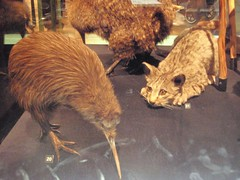 Un kiwi empaillé et un chat sauvage