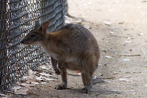 Wallaby at wildlife park