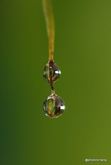 falling, like dew... (shirsj) Tags: morning macro green water air drop dew makro hijau pagi embun jatuh