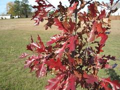 Sunny Fall Sunday 06 (ctk) Tags: fall 2009 redoak