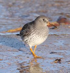 Purple Sandpiper (Jacqui Herrington:) Tags: nature birds scotland fife wildlife waders hightide kingsbarns purplesandpipers
