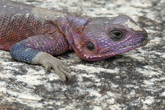Serengeti lizard (laeli) Tags: voyage africa travel nature animals tanzania lumix purple wildlife lizard panasonic serengeti viaggio laeli