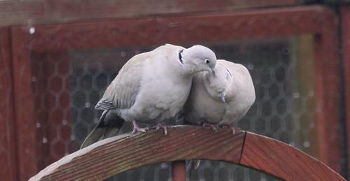 Collared Doves Preening