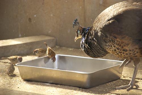 クジャクのエサ箱で食事中のスズメ