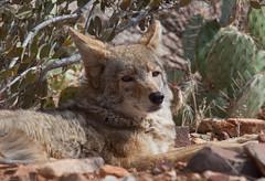 Coyote at rest (paulgillphoto) Tags: coyote arizona