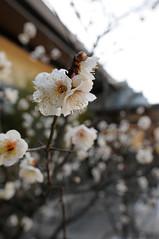 20100207 Iwazu Tenjin 2 (BONGURI) Tags: nikon shrine ume  tenjin  japaneseapricot d300 tenmangu     iwazu iwazutenjin  iwazutenmangu