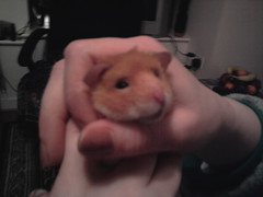 My favorite. (Hamster Lover 14) Tags: hamsters
